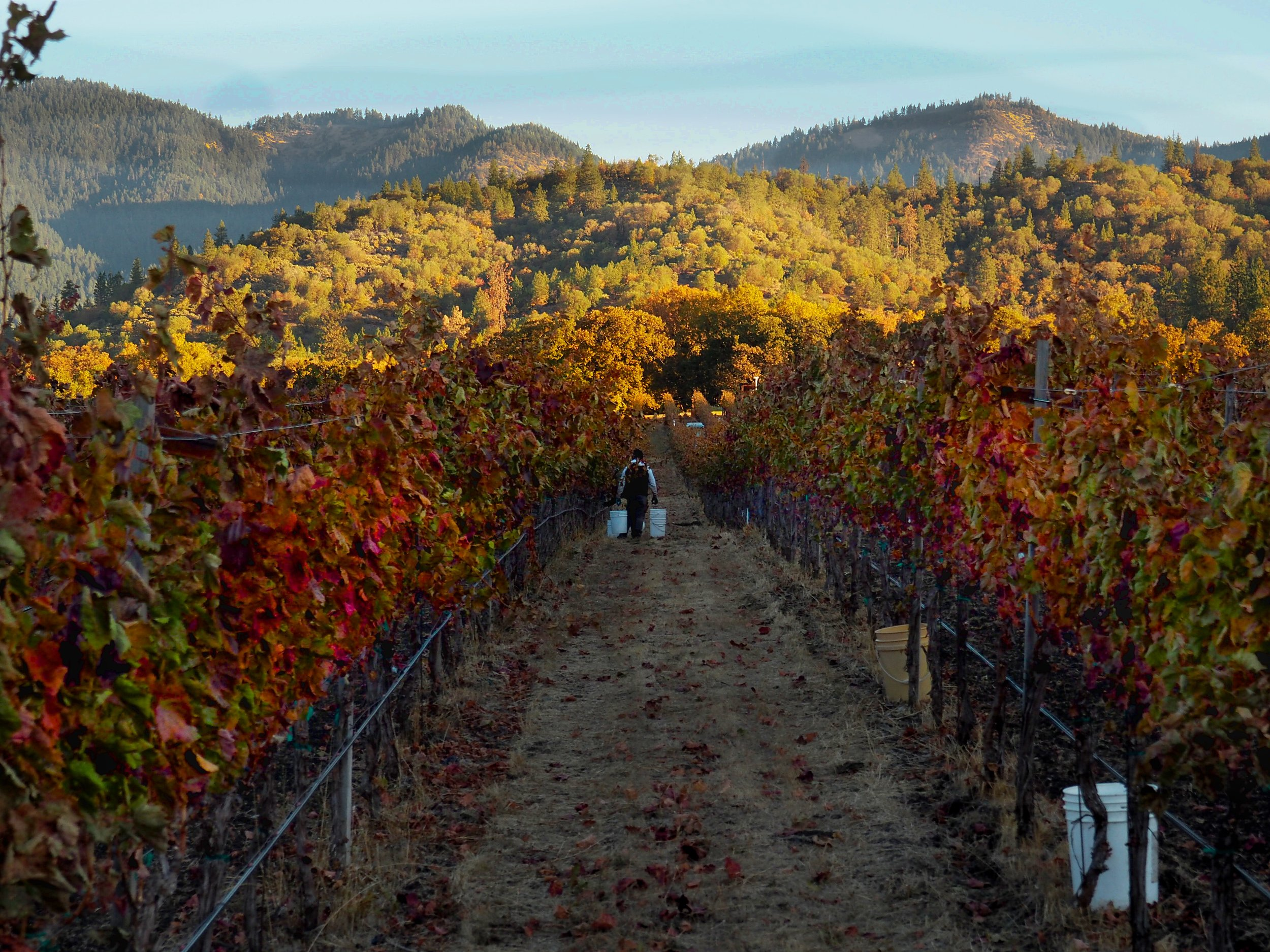Picking starts at dawn with the vines still in the shade of the Siskiyou Mountains, which are already brightly illuminated.