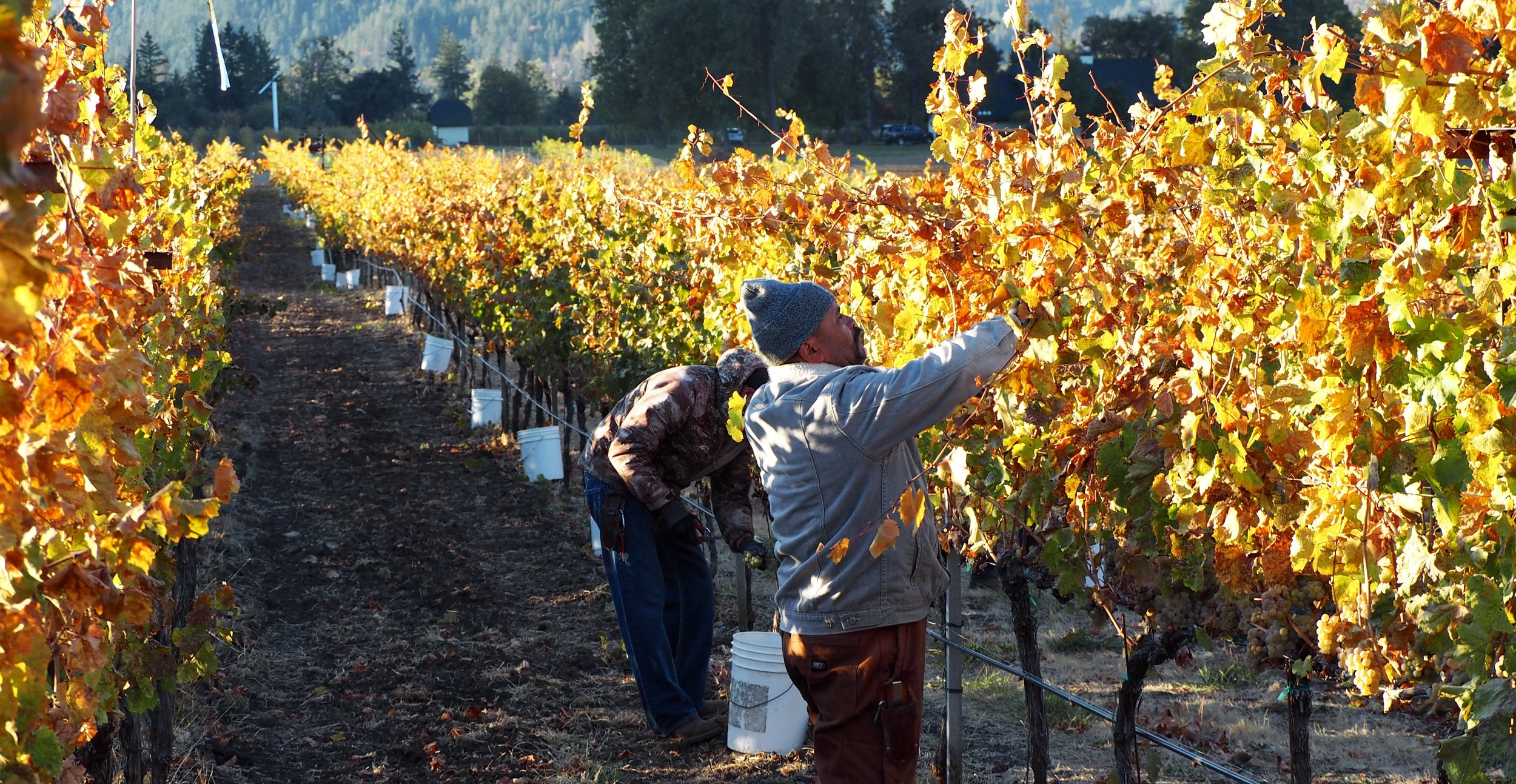 In a biodynamic vineyard, the leaves are fully turned color and falling off when it is time to pick the fruit. This is the natural cycle of a vine.