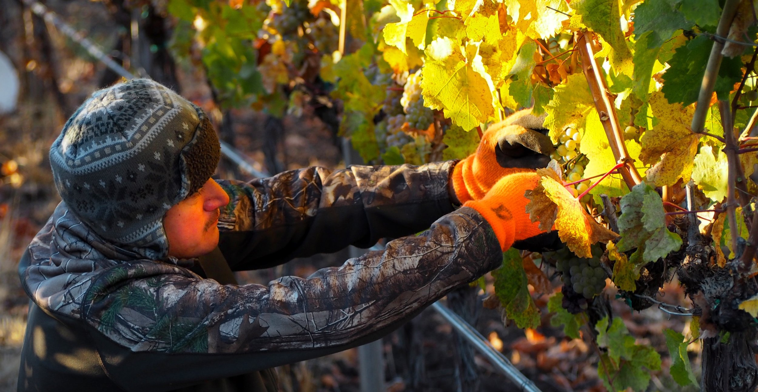 Adan picking vermentino.jpeg