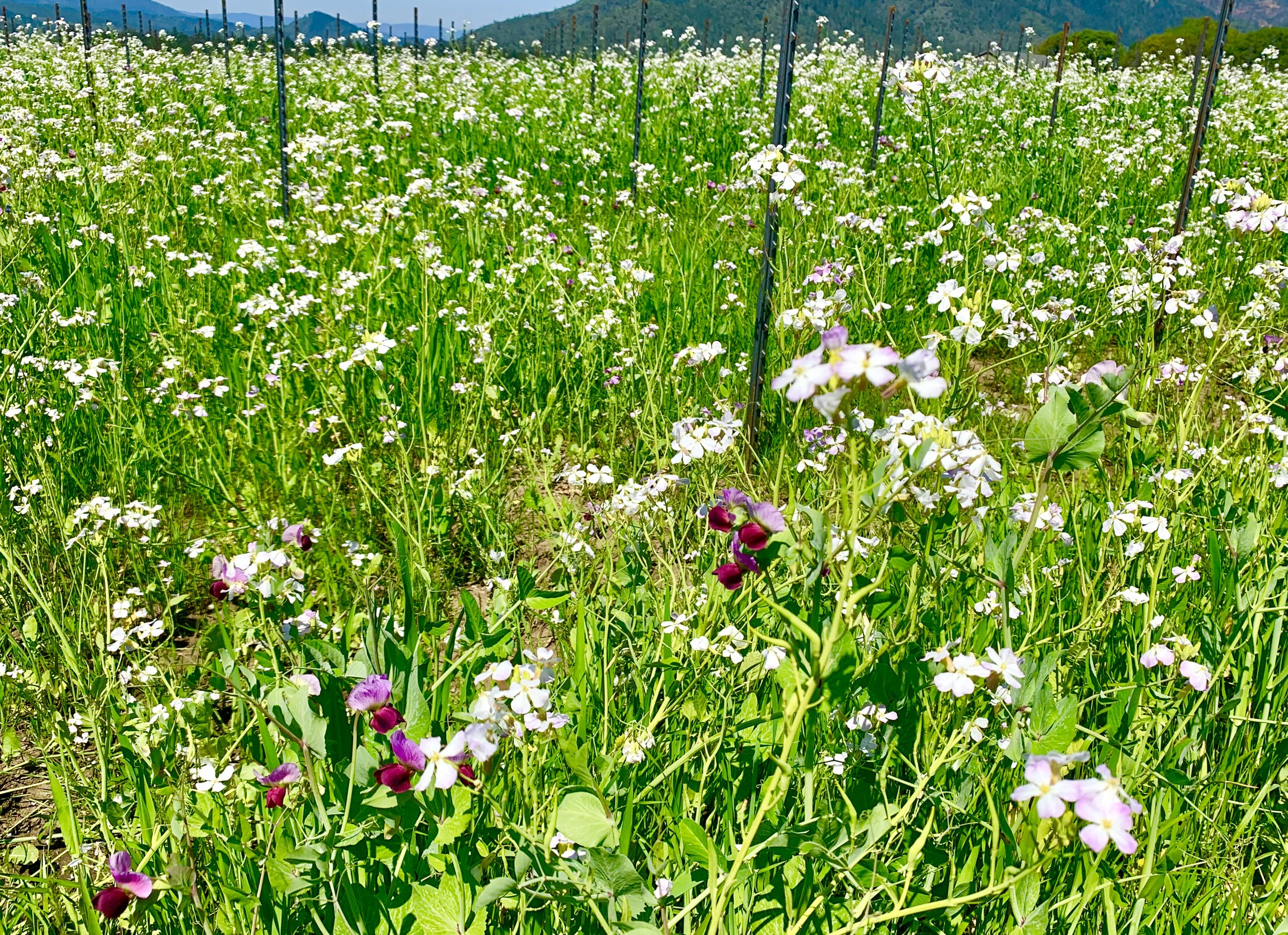 Brassica and sweet peas bloom as part of the cover crop regenerating soils at  Troon Vineyard