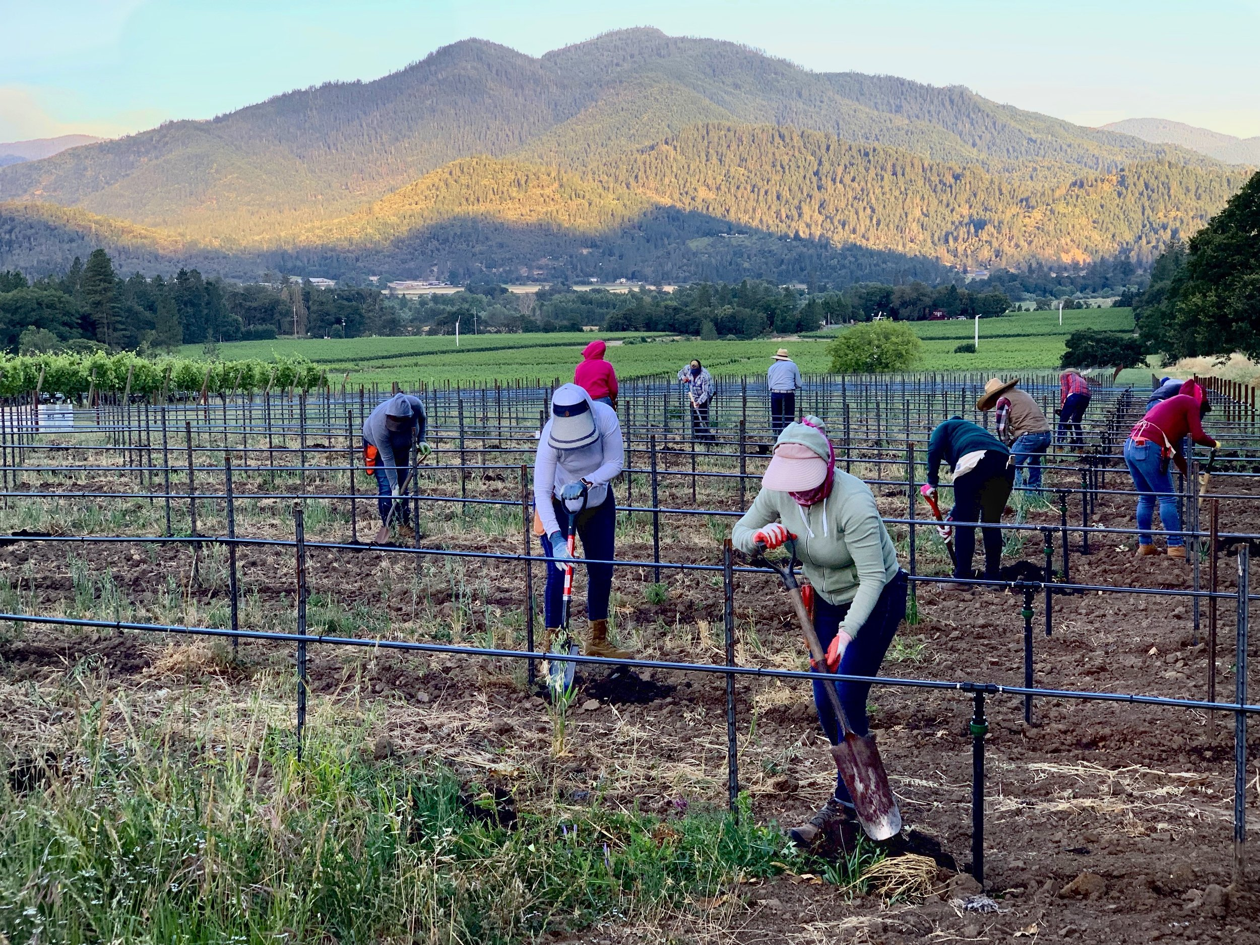 Planting mourvèdre at Troon Vineyard as dawn breaks over the Siskiyou Mountains