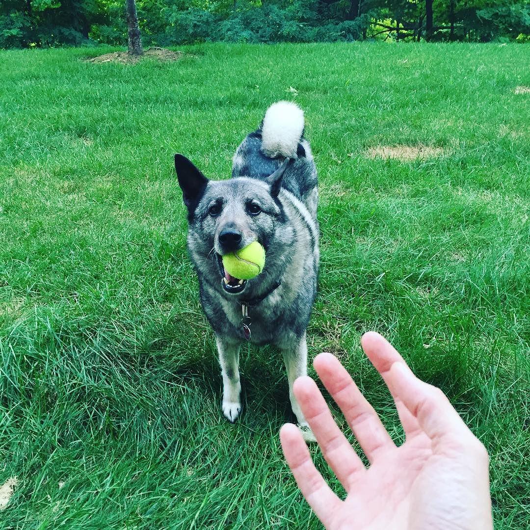 Hanging in the yard. #norwegianelkhound #dogsofinstagram #elkhound #sundayfunday  http://ift.tt/2a4jPVX