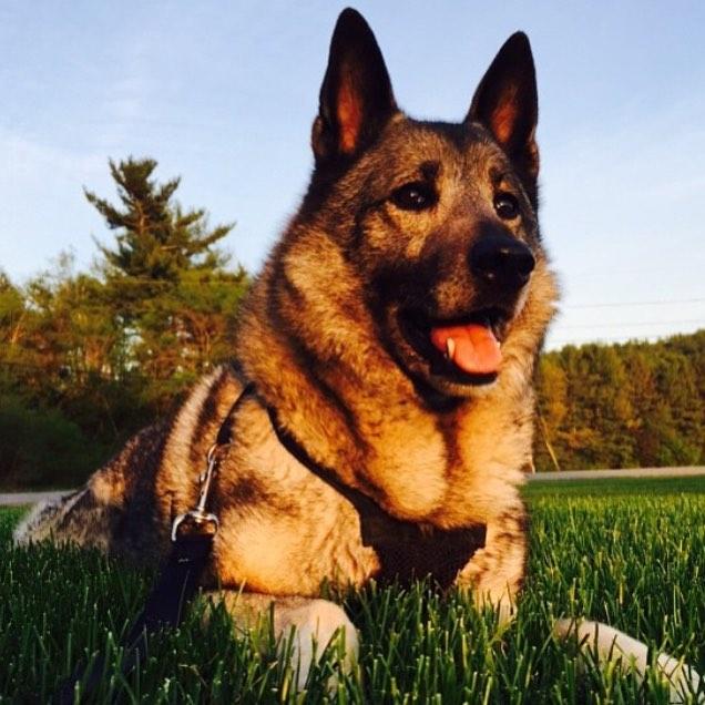 This guy. #elkhound #dogsofinstagram #newhampshire  http://ift.tt/29rThrs