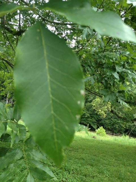 walnut tree leaf - cypress creek, alabama
