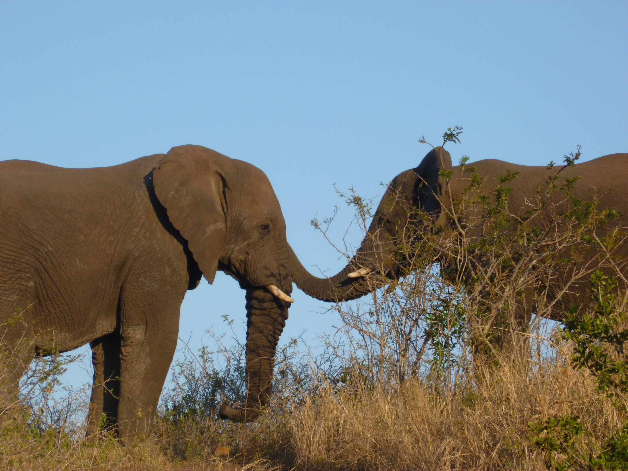 Two of the rescued elephants, just before sunset, enjoying a friendly moment as we looked on…