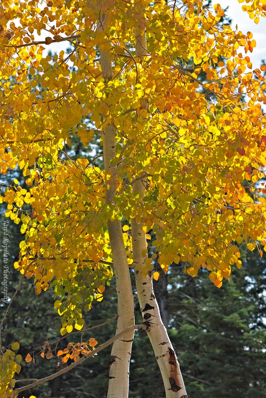 Yellowtop