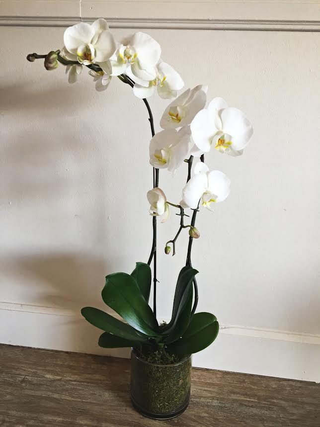 Double, white orchid in a glass vase with moss $65
