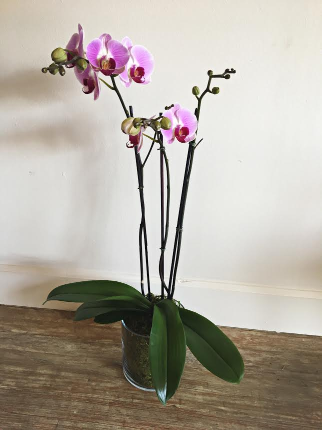 Novely orchid in glass vase with moss $55