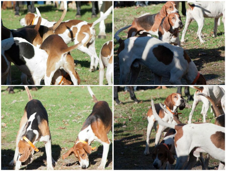 hounds2_collage.jpg