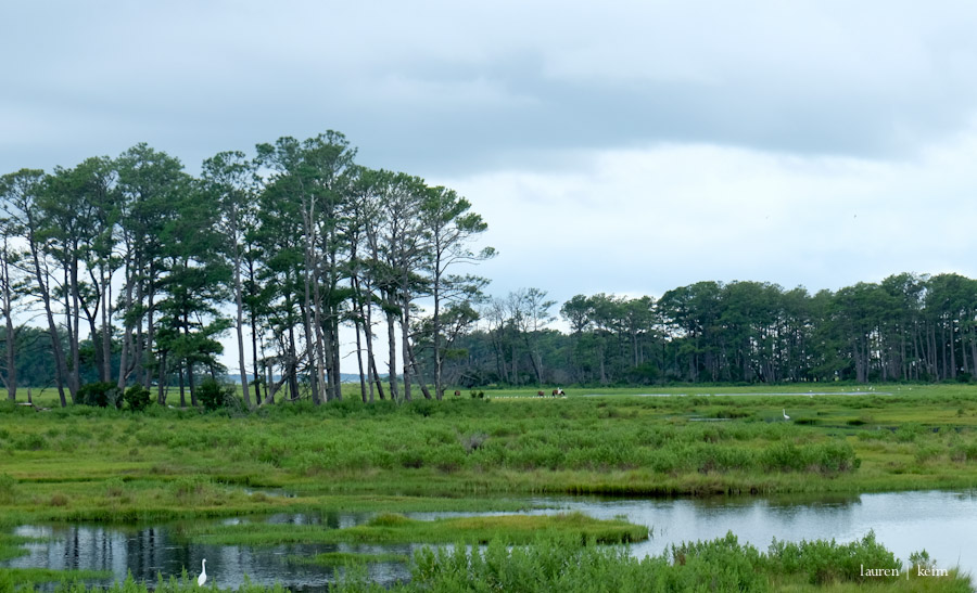 In the distance, the ponies of Assateague Island.