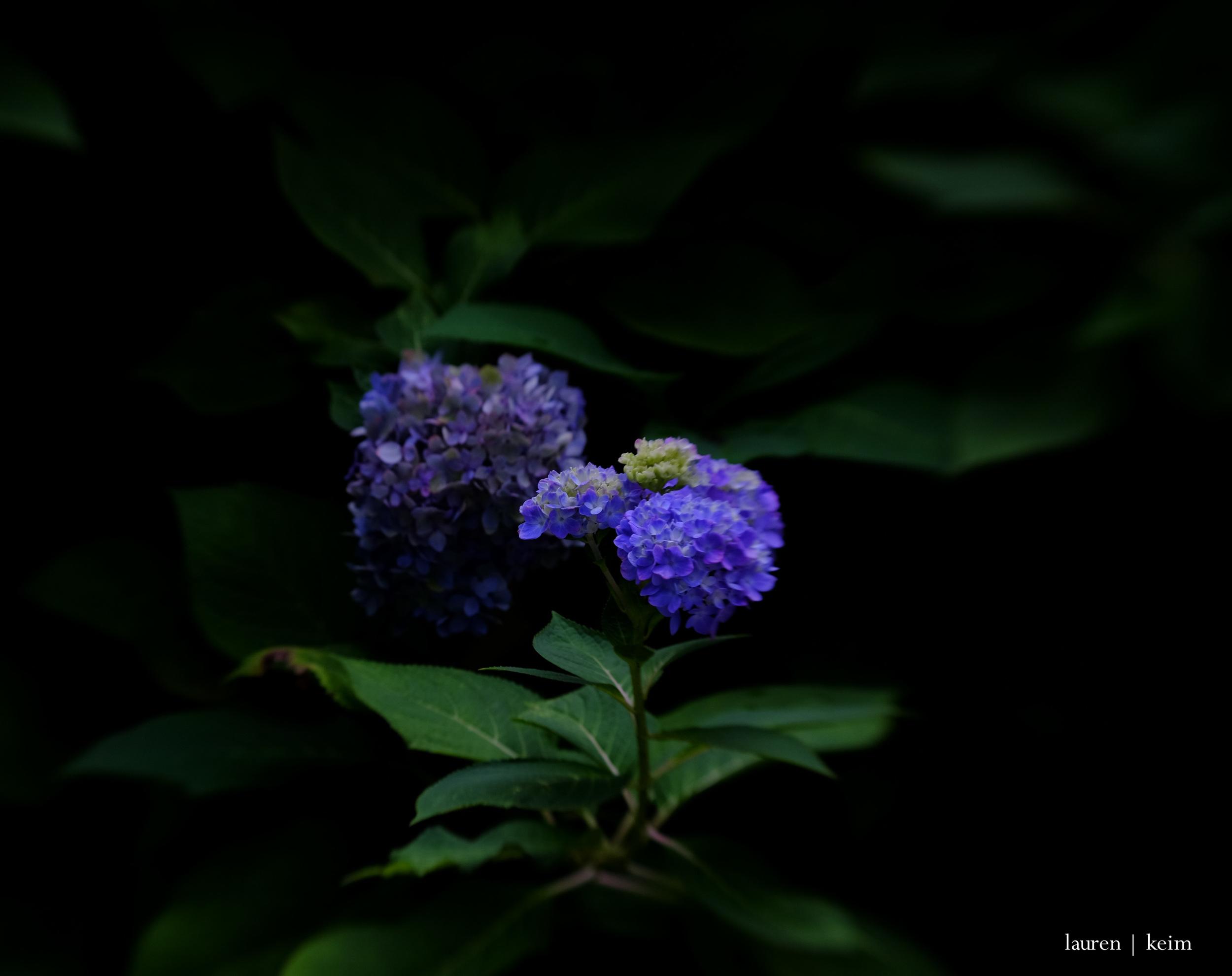 still blooming :: Fuji X-E2, Lensbaby Composer