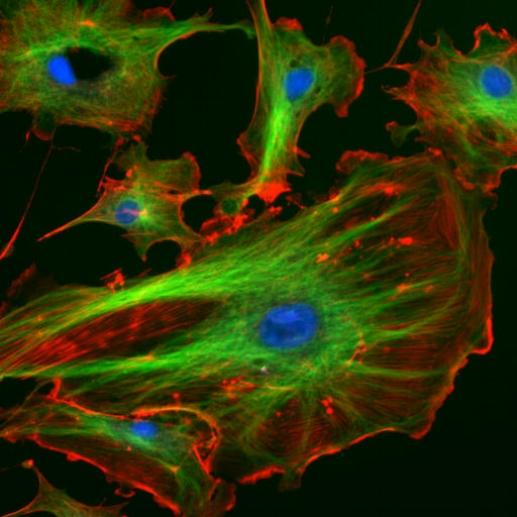 FluorescentCells.jpg