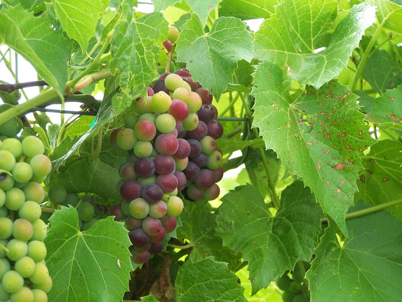 Fruit of the vine, Carlos Creek Winery