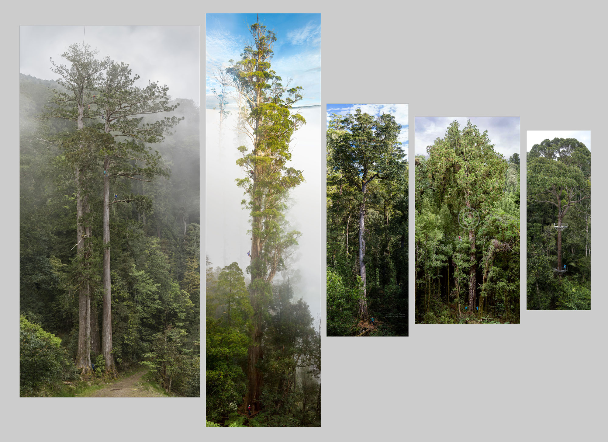 - OUR PRIMARY OUTPUT IS A 'TREE PORTRAIT' OF AN IMPRESSIVE TREE.the simple experience of seeing a giant tree for for first time can break down preconceptions. This allows an opportunity to further EDUCATE ON THE complexity and deeper ecological concepts OF FOREST ECOSYSTEMS.