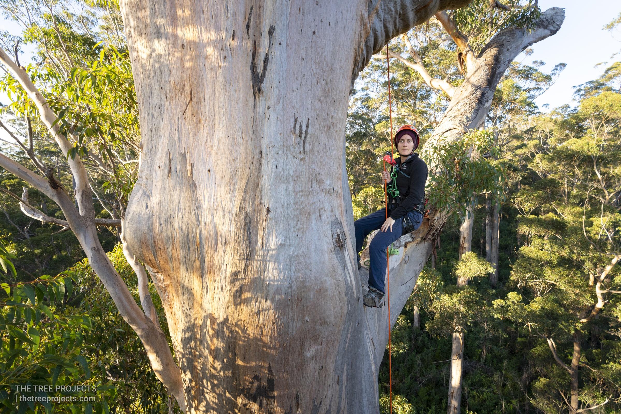 Dr Jen Sanger tree climbing in a Karri (Eucalyptus diversicolor)