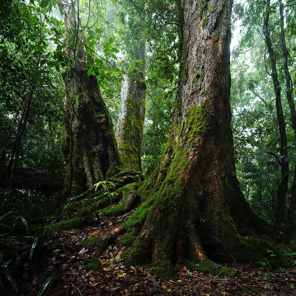 The irreplaceable and fire sensitive Antarctic Beech of the Lamington Nation Park.