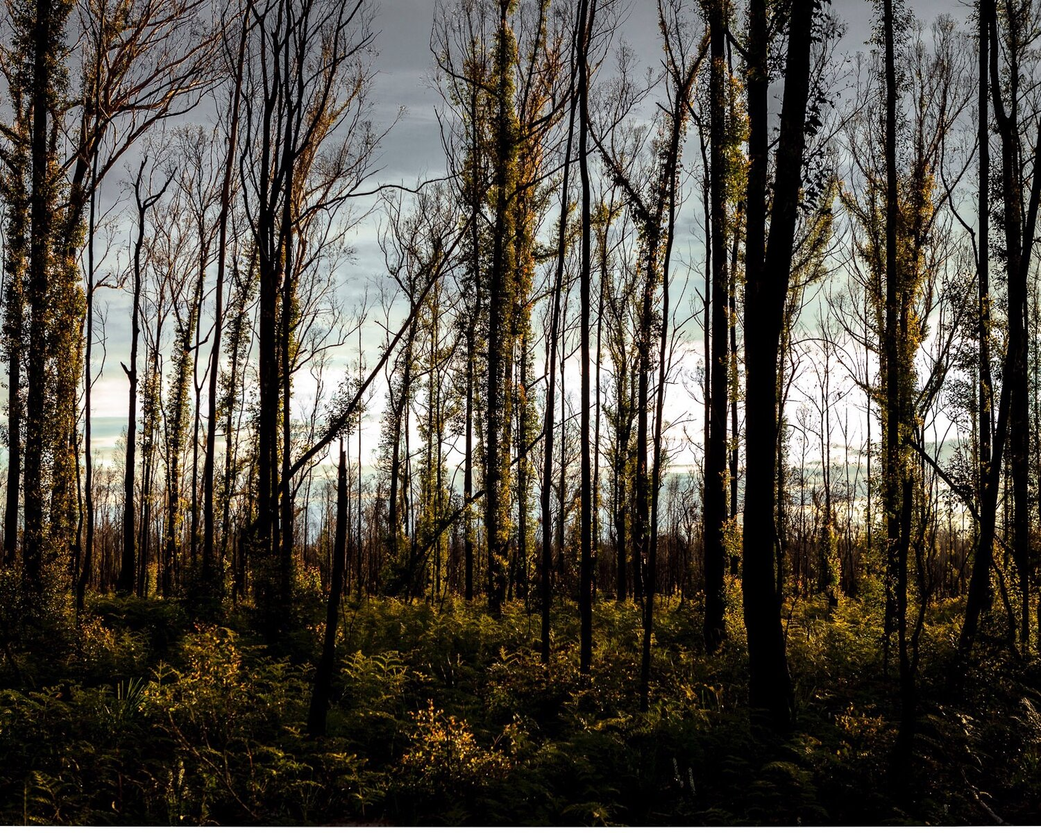 A fire ravaged Eucalypt forest