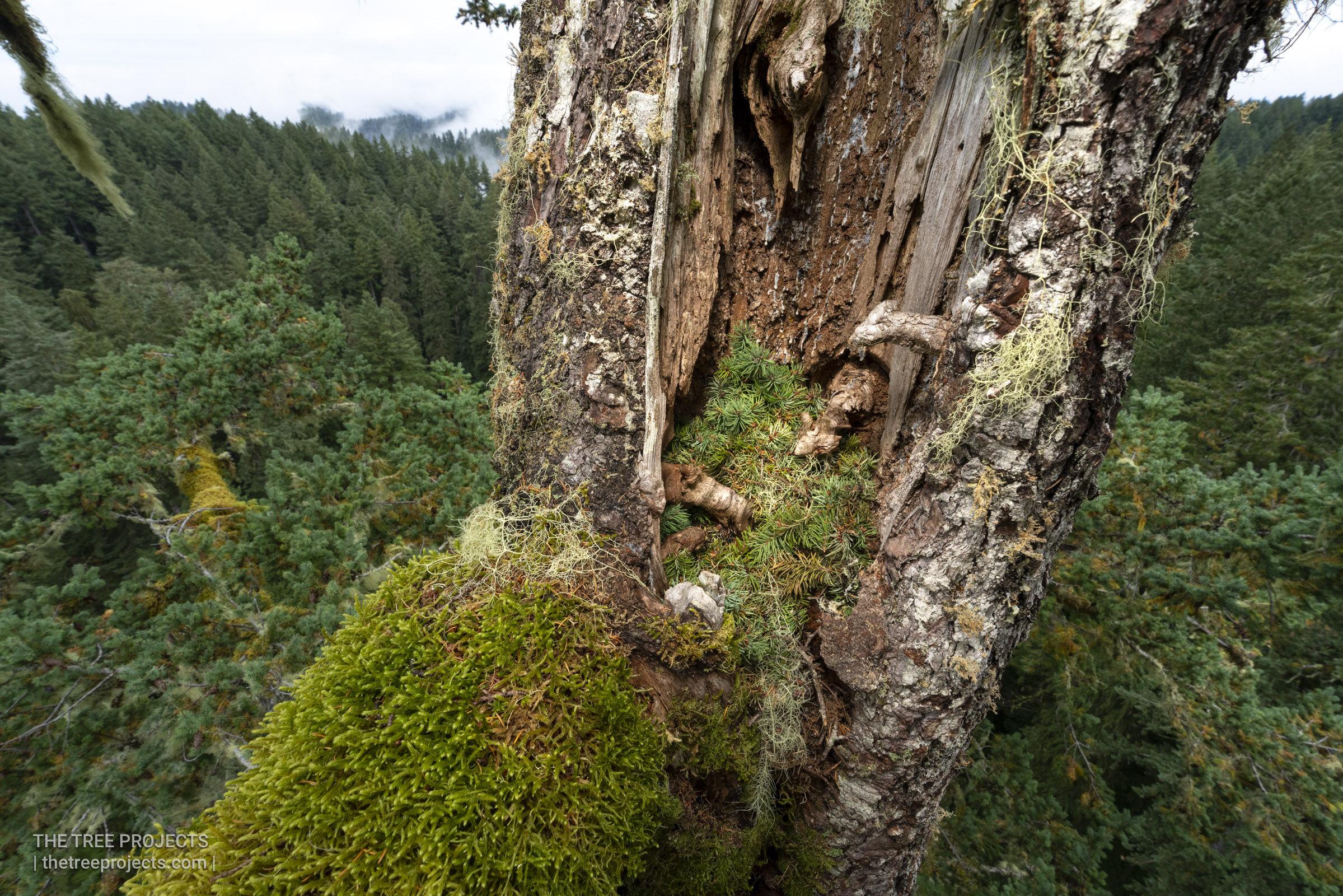 Red Tree Vole Nest