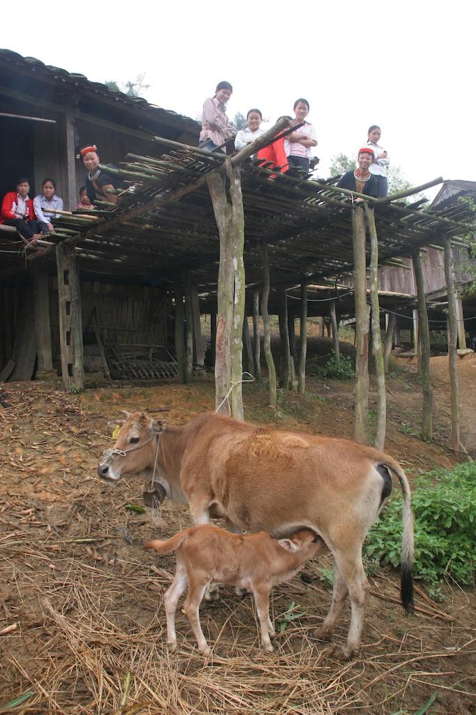 Cow Web 5 011.jpg