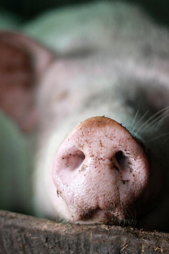 Pig Web 1 012.jpg