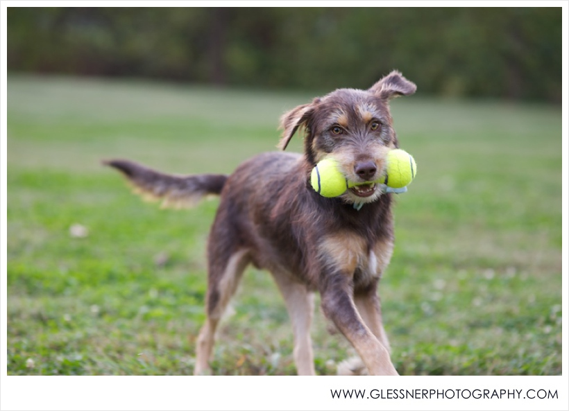 Bruno the wolfhound playing fetch at Old Salem