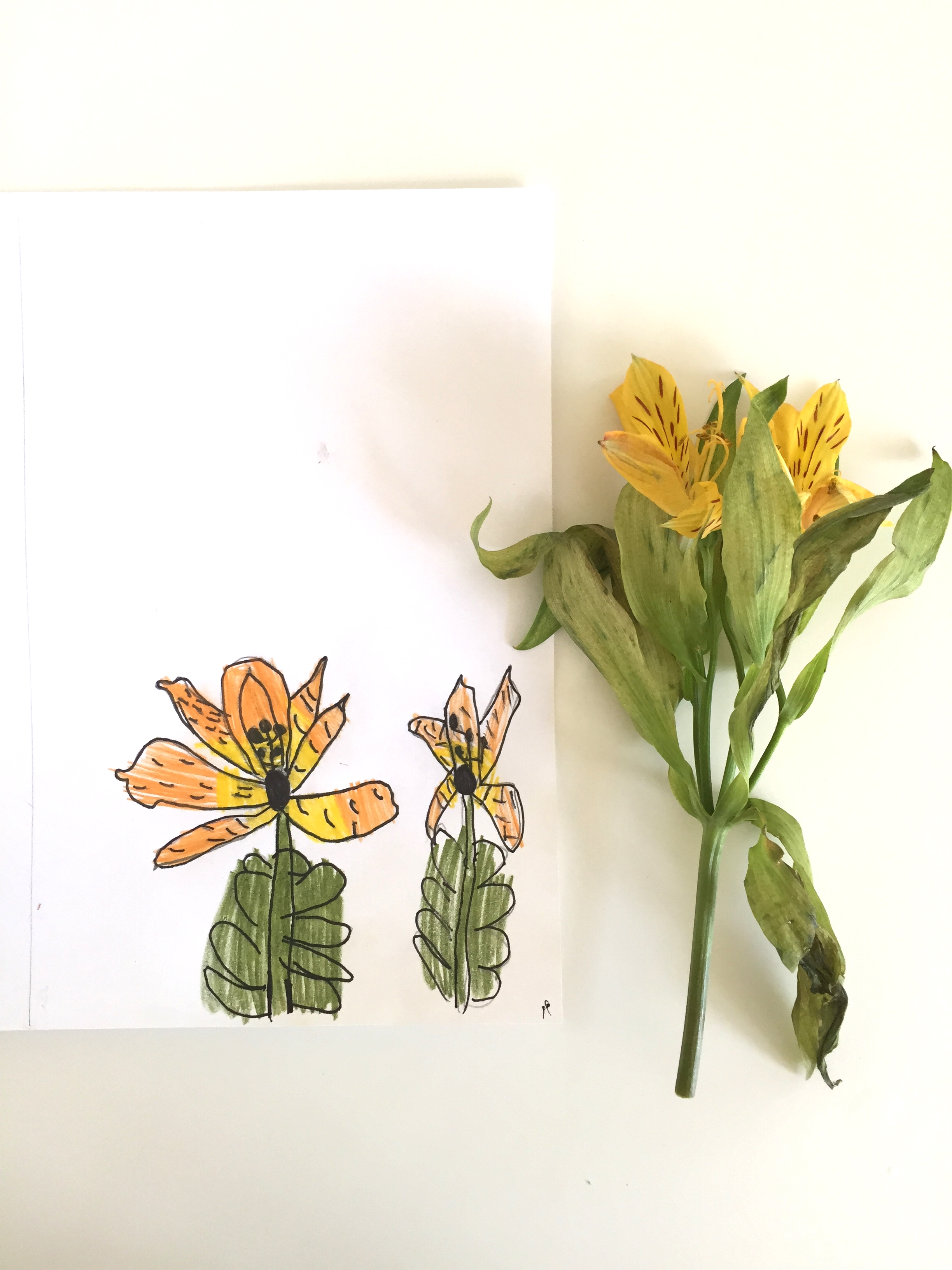 Drawing details from an Alstroemeria, age 6