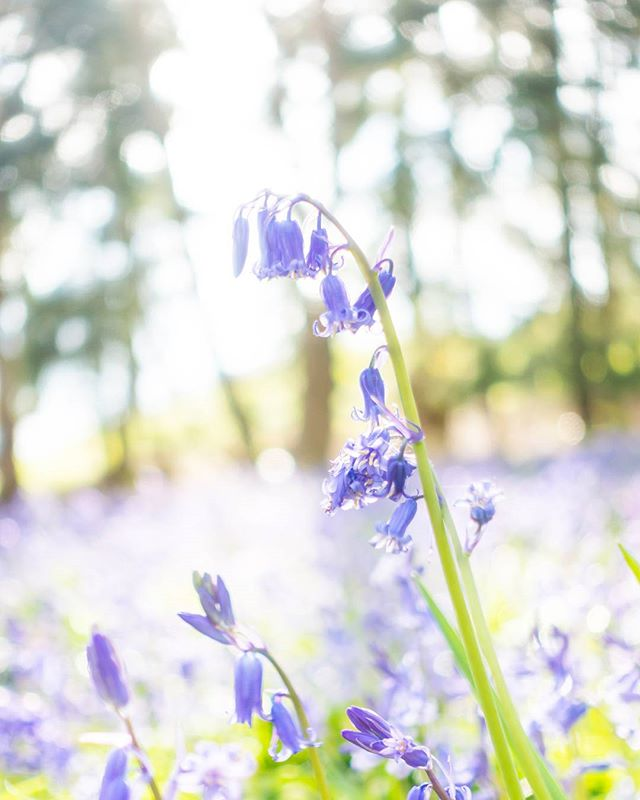 It's that time of year again. If you wanna catch some #bluebells, quick, head to the woods! ... #spring #flowers #purple #woodland #forest #sonyrx100iv #uk #aprilflowers #springtime