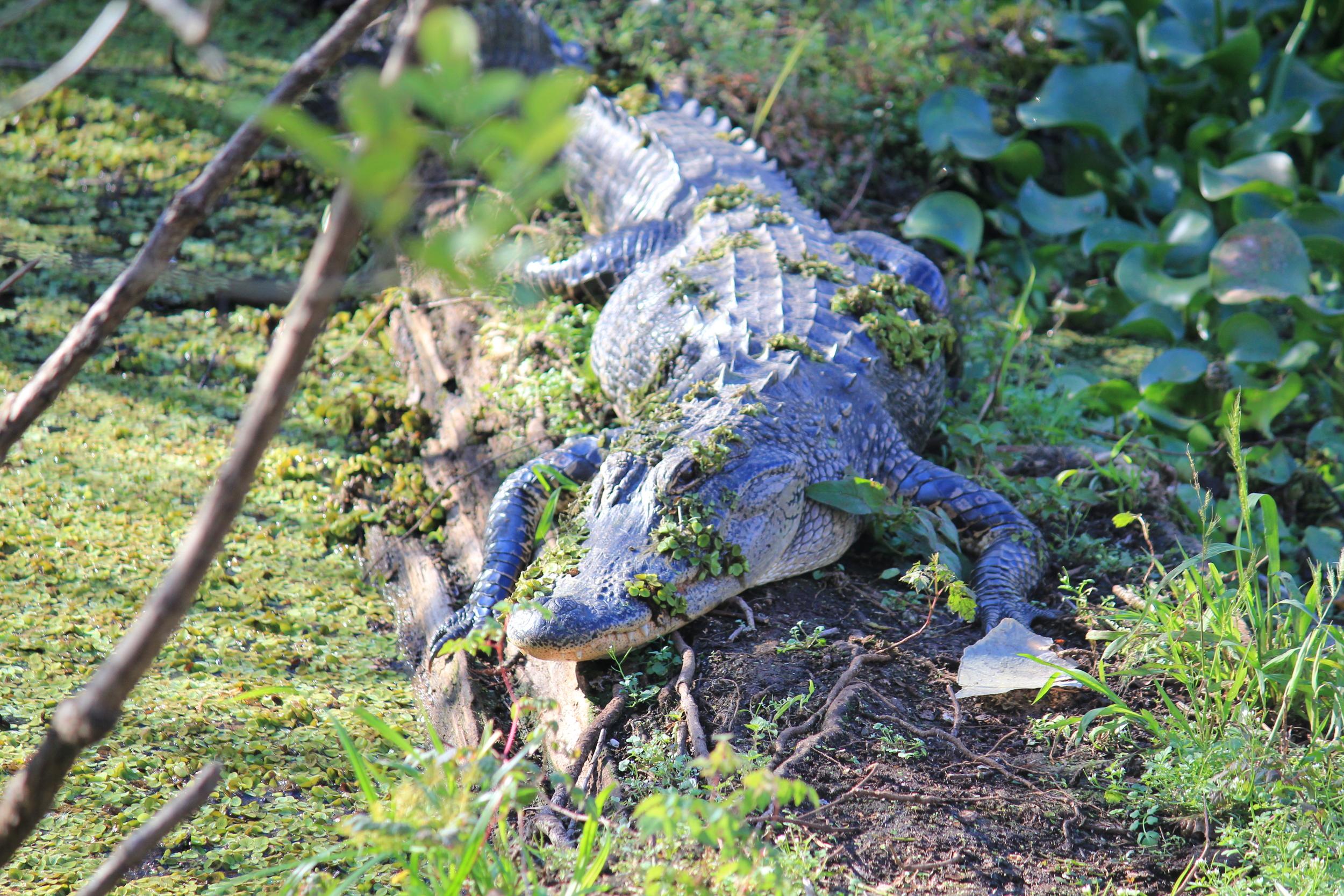 Gator at Lettuce Lake.JPG