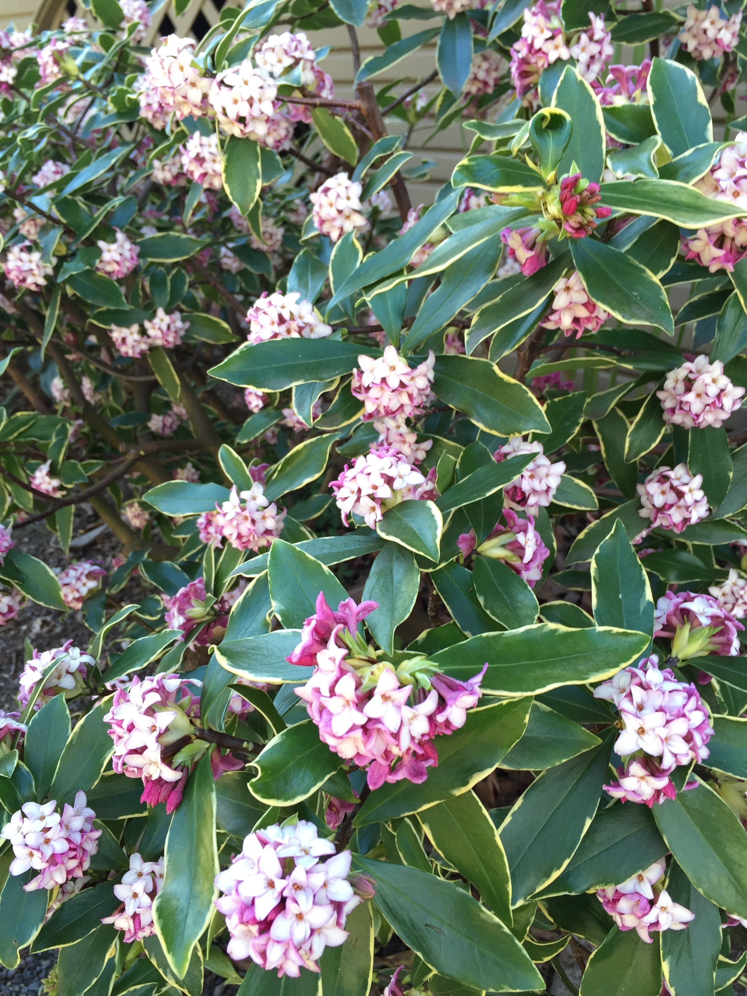 Oh, how you wish you could smell a photograph! This is Daphne odora, the source of the sharply delicious scent that presages early spring in Portland.
