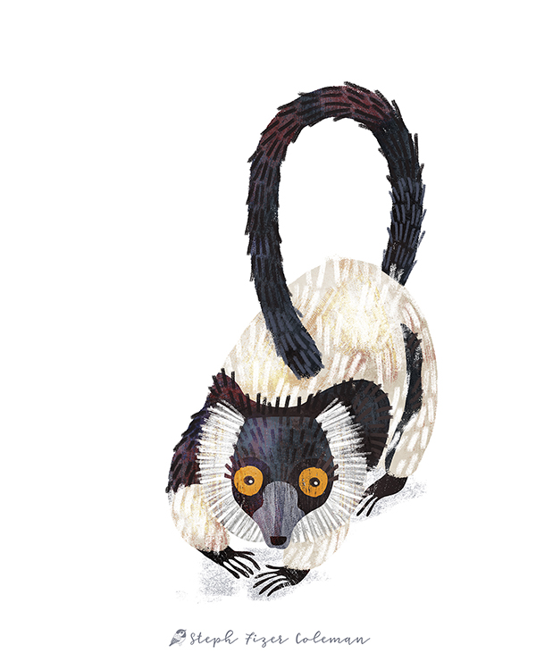 black and white ruffed lemur_stephfizercoleman.jpg