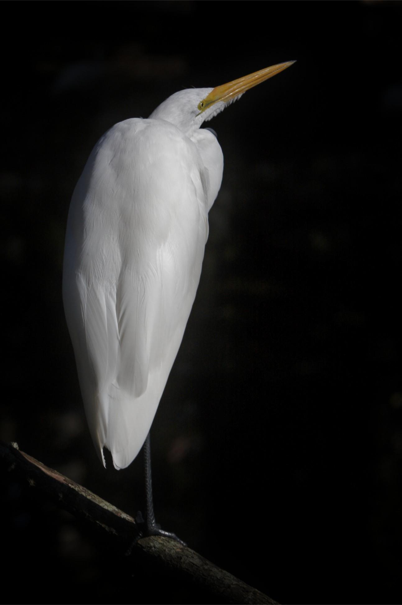 Egret on Black.jpg