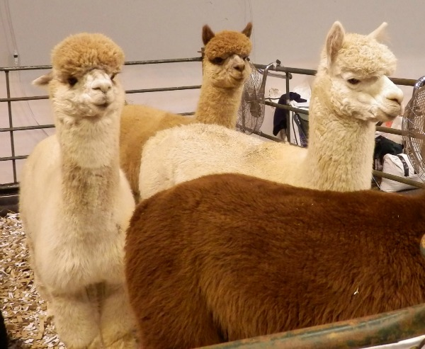 alpacas2.jpg