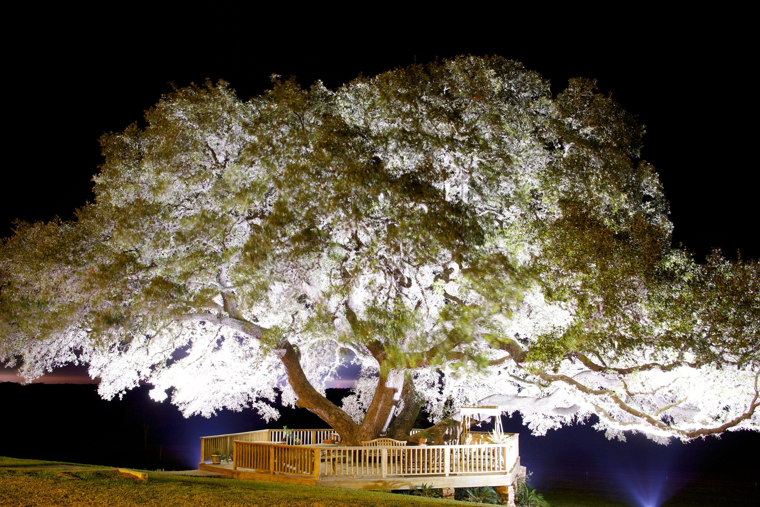Texas Oak Tree