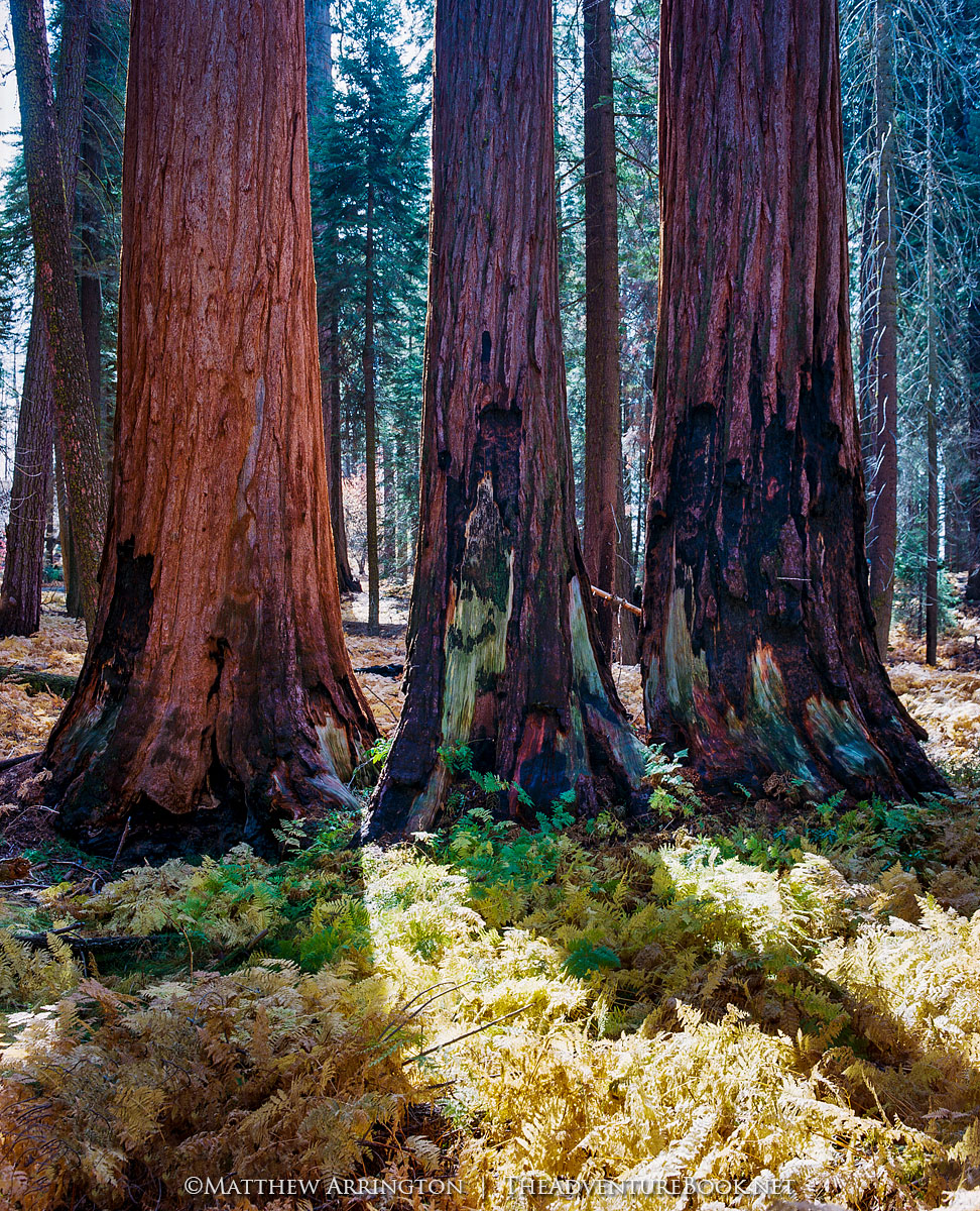 Sequoia Trifecta - Mamiya RB67, 90mm, Kodak Ektar 100