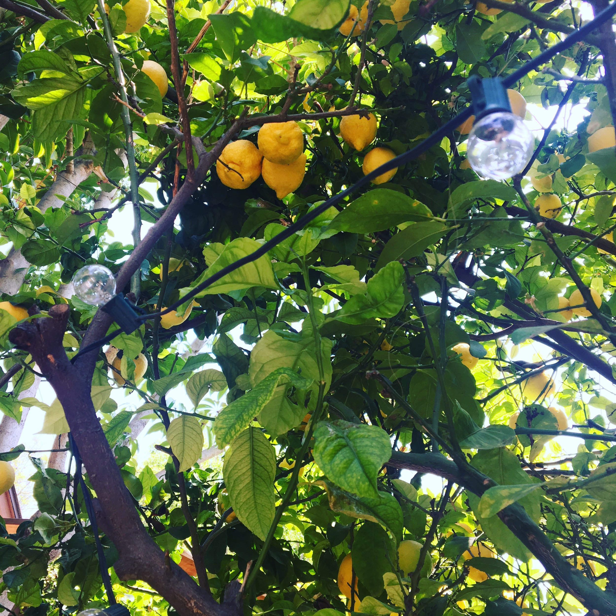 Seriously, these lemons were like softballs.