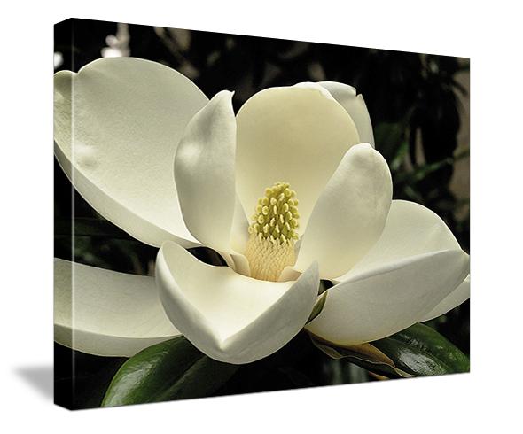magnolia_gallerywrap.jpg