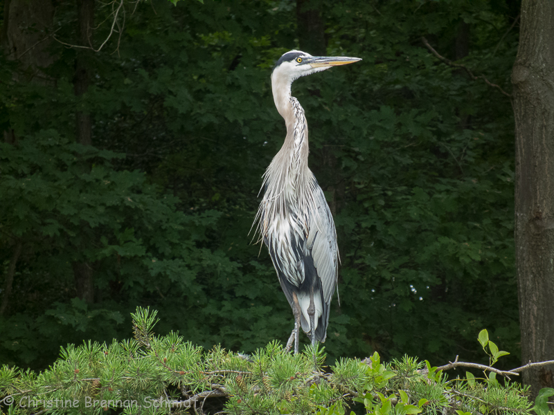 This Great Blue Heron was watching me carefully.