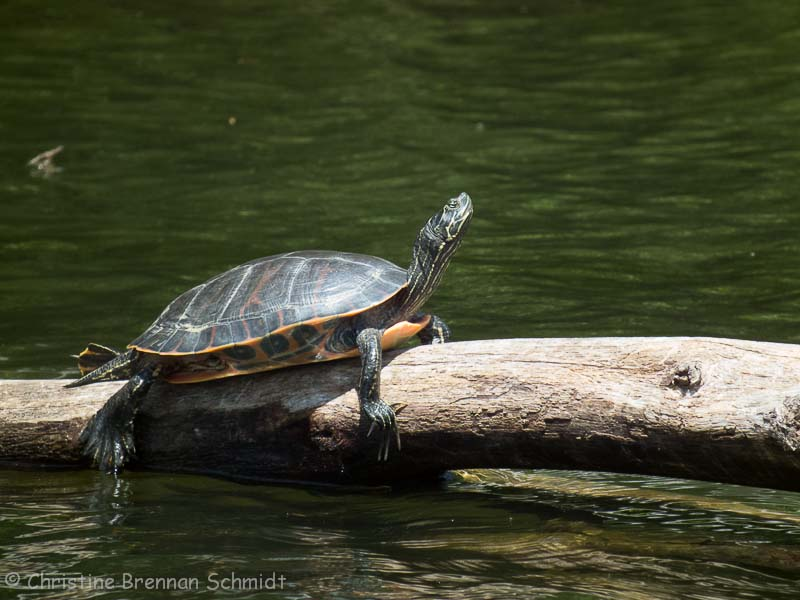 A very relaxed and large painted turtle.