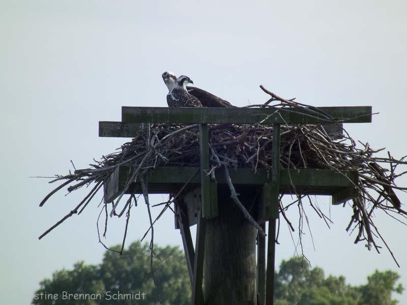 An osprey nest.