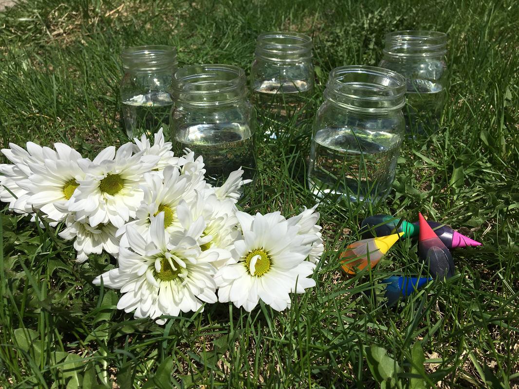 marguerites-fleurs-fleurs+colorées-couleurs-met+de+la+couleur+dans+ta+vie-colorer+des+fleurs-colorant+alimentaire-expérience-plaisir-enfants-simplicité-#mamanbricole-Maman+Bricole-Je+suis+une+maman-9.png
