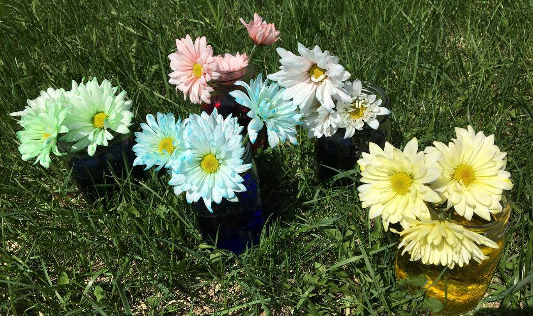 marguerites-fleurs-fleurs+colorées-couleurs-met+de+la+couleur+dans+ta+vie-colorer+des+fleurs-colorant+alimentaire-expérience-plaisir-enfants-simplicité-#mamanbricole-Maman+Bricole-Je+suis+une+maman-5.png