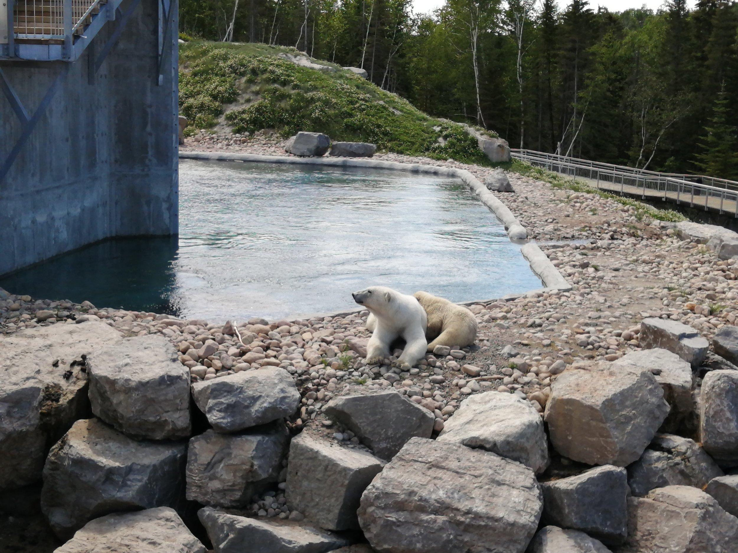 voyage-famille-lac-saint-jean-wow-zoo-sauvage-ours-polaire-nouveauté