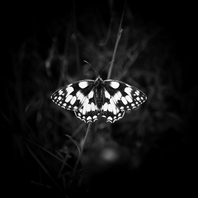 Marbled White.jpg