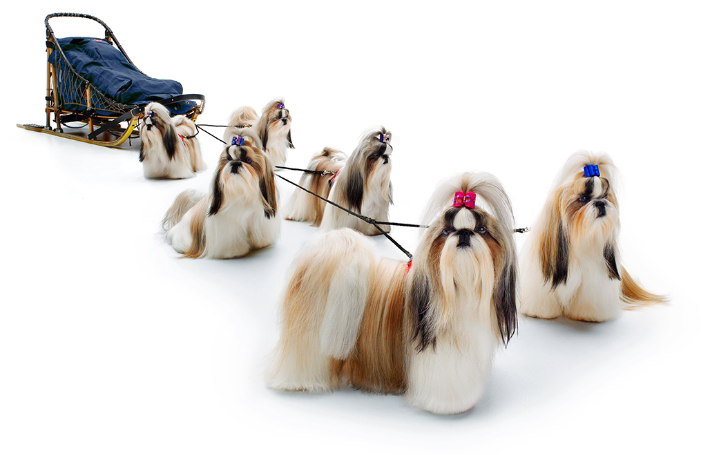 Sled dogs?