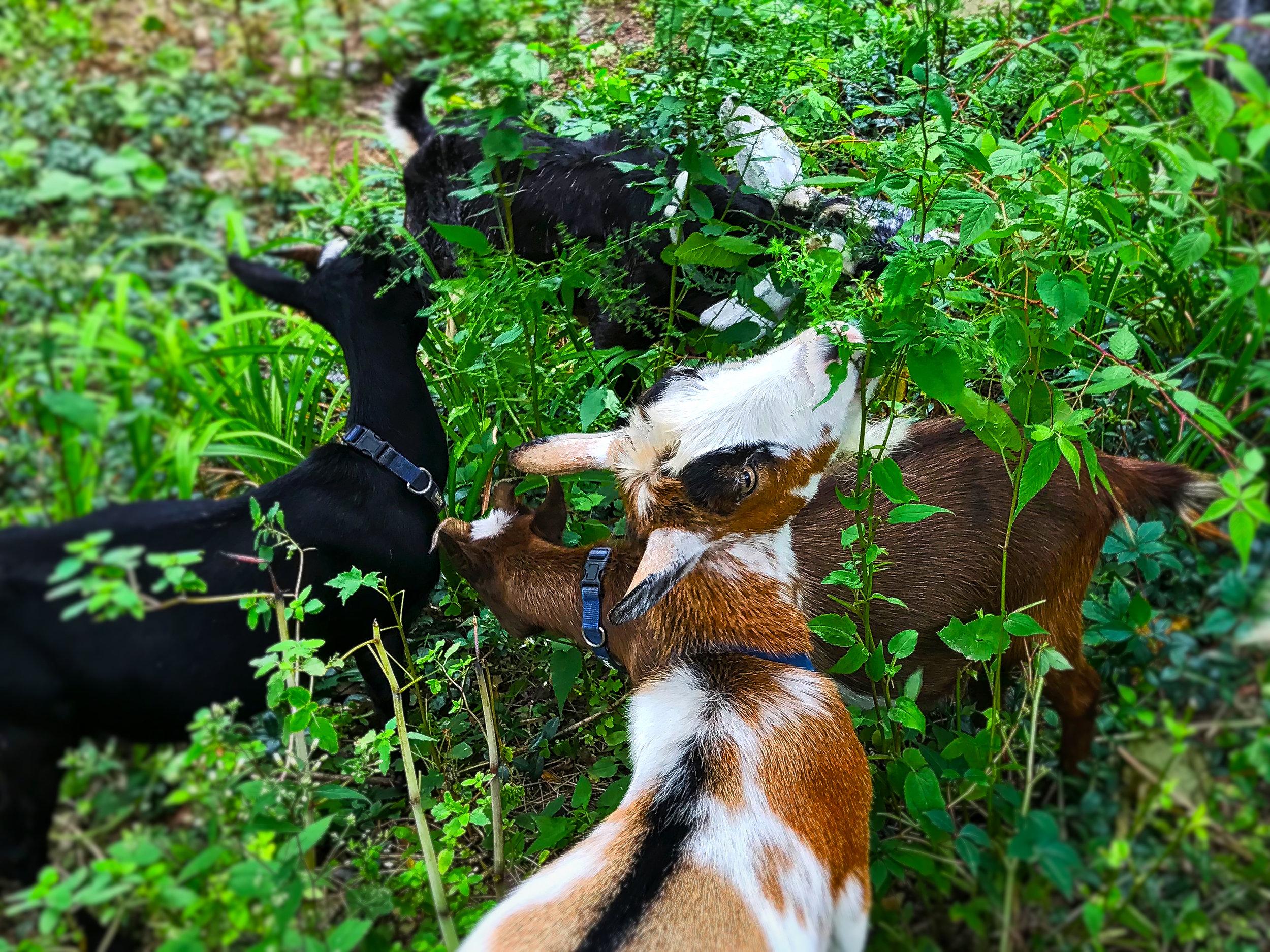 Goats_eating_082118.jpeg