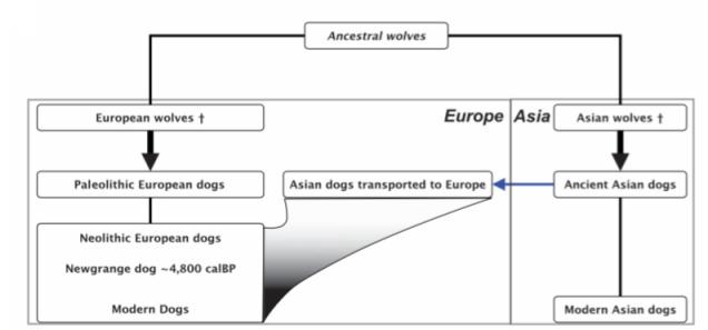 Diagrama que muestra la domesticación del perro bajo la nuevo hipótesis del doble origen. Imagen: L. A. F. Frantz et al., 2016