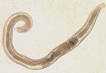 Evermicularis_adult2_Norway.jpg
