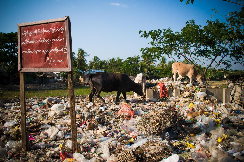 Livestock feast at the local dump in Dala