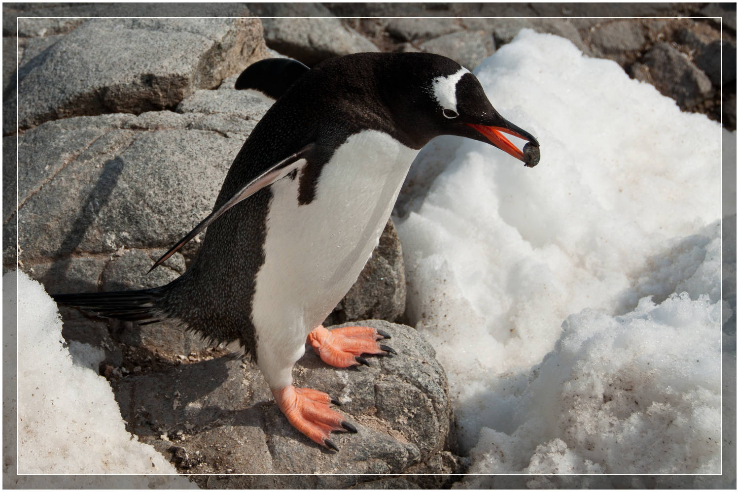 Penguin carrying a rock on Antarctica (c) Dustin Main 2010