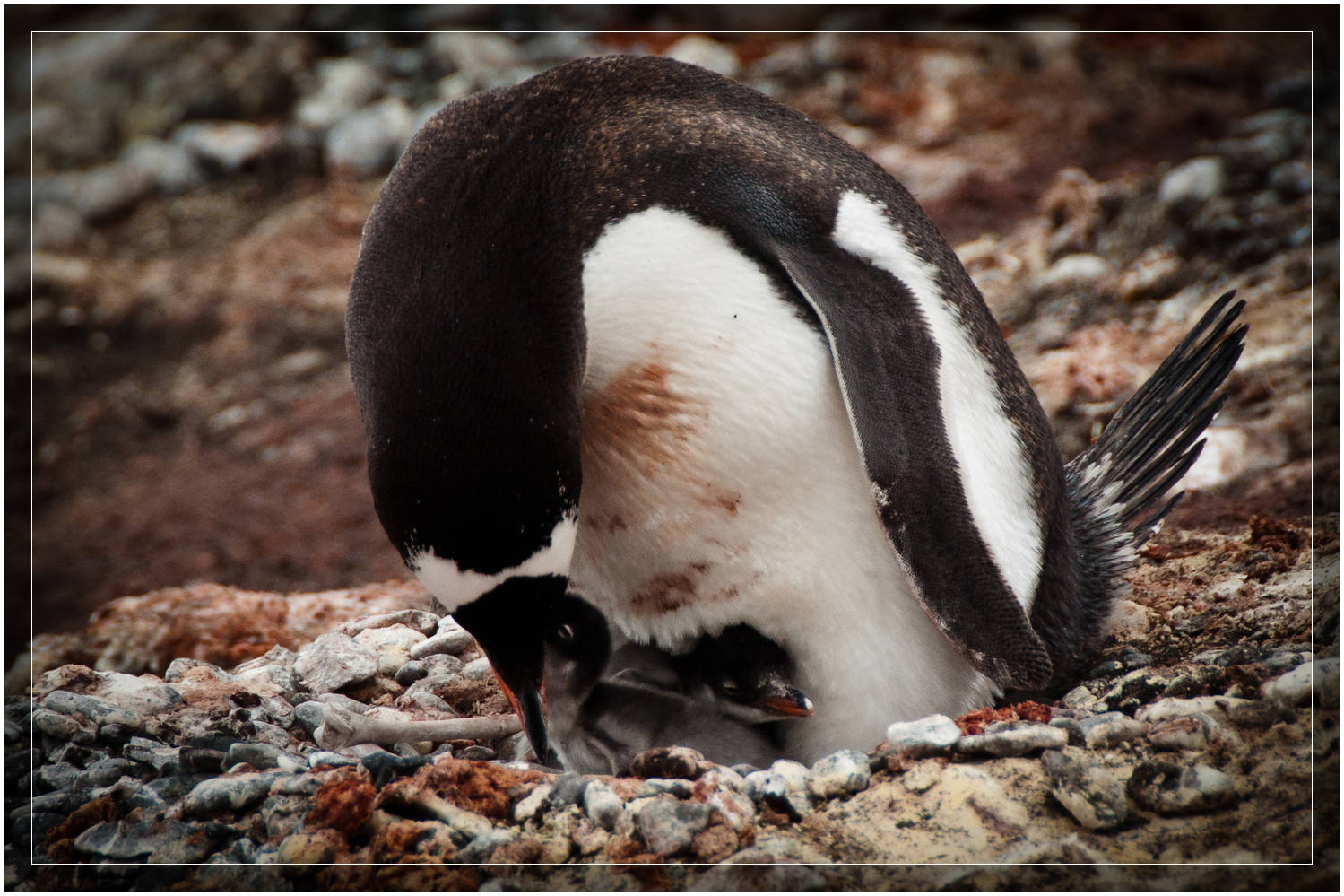 Gentoo penguin caring for baby. (c) Dustin Main 2010